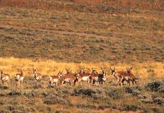Pronghorn Antilopen-Herde Stockbilder