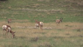 Pronghorn-Antilopen-Herde in der Furche Stockbild