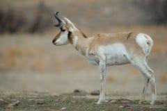 Pronghorn-Antilopenprofil Lizenzfreie Stockfotos