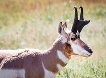 Pronghorn Antylopa zdjęcia royalty free