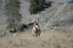 pronghorn antylopy Zdjęcie Royalty Free