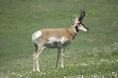 pronghorn antylopy Zdjęcia Stock