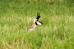 Pronghorn ` antylopy ` Amerykańska samiec w Custer stanu parku zdjęcia stock