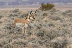 Pronghorn antylopy królica i samiec fotografia stock