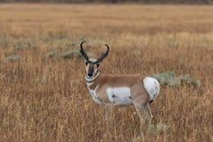 Pronghorn antylopy samiec Obraz Royalty Free