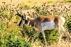 Pronghorn antylopy samiec Jackson dziura Zdjęcia Stock