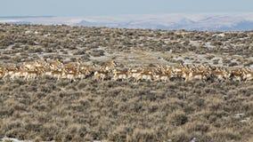 Pronghorn antylopy stado w pustyni fotografia stock