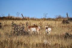Pronghorn attento o antilope americana Immagini Stock Libere da Diritti