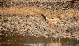 Pronghorn auf dem Fluss Stockfoto