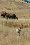 Pronghorn and bison Stock Photo