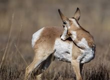 Pronghorn scratching an itch. Pronghorn is biting at an itch on her side Grand Teton National Park, Wyoming, USA royalty free stock photo