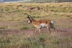 Pronghorn bock på den Utah prärien Royaltyfri Bild