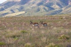 Pronghorn bockar på den Utah prärien Royaltyfria Foton