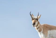 Pronghorn buck που χαμογελά Στοκ Εικόνες