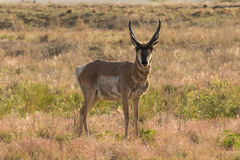Pronghorn  Buck Stock Images