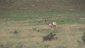 Pronghorn Buck Stock Image