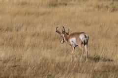 Pronghorn Buck Stock Photo