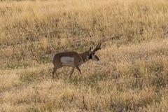 Pronghorn Buck Backlit Royalty Free Stock Photos
