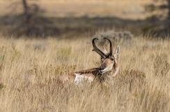 Pronghorn Buck Bedded Stock Foto
