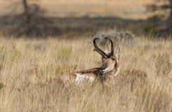 Pronghorn Buck Bedded Stock Photo