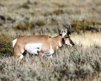 Pronghorn buck in deep grass. Pronghorn buck making his way through the tall sage brush. Grand Teton National Park, Wyoming, USA royalty free stock photography