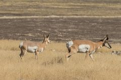 Pronghorn Buck and Doe Stock Photography