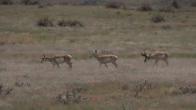 Pronghorn buck with does in rut. A pronghorn buck with does during the rut stock video