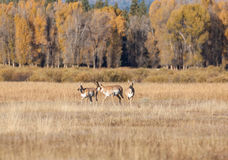 Pronghorn Buck and Does in Rut Stock Images