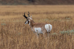 Pronghorn Buck in Field Royalty Free Stock Photos