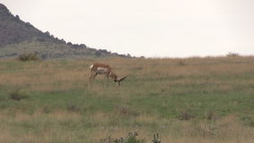 Pronghorn Buck Grazing Stock Foto