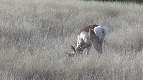 Pronghorn Buck Grazing stock footage