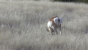 Pronghorn Buck Grazing on the Prairie stock video footage