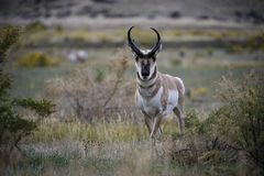 Pronghorn buck landscape. A pronghorn buck poses in Yellowstone national park during the annual fall rut mating season Royalty Free Stock Photography
