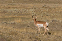 Pronghorn Buck Looking Away Stock Photos