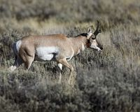 Ponghorn poised for takeoff. Pronghorn buck is making his way through the sage bushes Grand Teton National Park, Wyoming, USA royalty free stock photos
