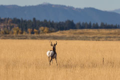 Pronghorn Buck Moving Away. A pronghorn antelope buck during the fall rut in Wyoming Stock Images