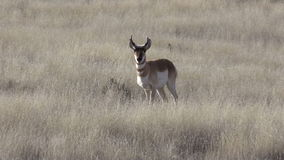 Pronghorn Buck on the Prairie stock video footage