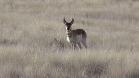 Pronghorn Buck on the Prairie stock video footage