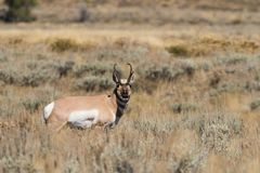 Pronghorn Buck on the Prairie Royalty Free Stock Image