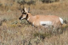 Pronghorn Buck on the Prairie Royalty Free Stock Photography