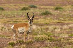 Pronghorn Buck on the Prairie. A nice pronghorn antelope buck on the Utah prairie Stock Image