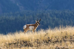 Pronghorn Buck on Ridge Stock Photos