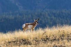 Pronghorn Buck on Ridge Stock Photos
