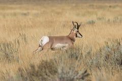 Pronghorn Buck Running photo libre de droits