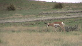 Pronghorn Buck Running Photos libres de droits