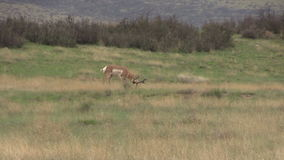Pronghorn Buck Running stock video