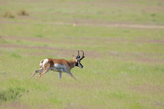 Pronghorn Buck Running Image libre de droits