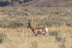 Pronghorn Buck Running Stockbild
