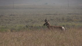 Pronghorn Buck Running stock videobeelden