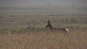 Pronghorn Buck Running. A pronghorn antelope buck running across the prairie stock video footage